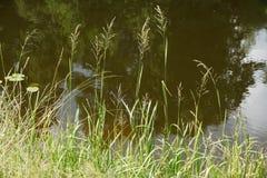 Sommargräs över vattnet Arkivfoto
