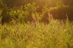 Sommargräs Royaltyfri Fotografi