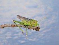 Sommargräshoppa och hängande ben - afrikanska kryp Royaltyfri Bild