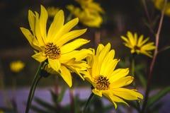 Sommarguling blommar i trädgården fotografering för bildbyråer