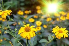 Sommarguling blommar under ljust solljus Arkivfoto