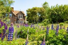 Sommarhus som omges av Lupines Fotografering för Bildbyråer