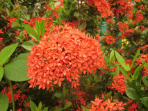 SommarIxora blomma Arkivbilder