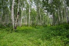 Sommarlandskap av björkskogen på en solig dag Arkivfoto