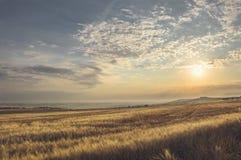 Sommarlandskap av ett vetefält Arkivbild