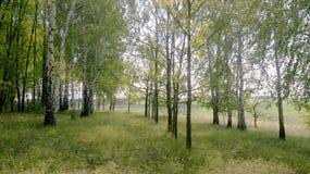 sommarlandskap-björk dunge på en kulle arkivbilder