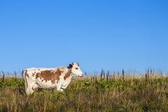 Sommarlandskap i Carpathiansna med kon som betar på ny gr Arkivbild