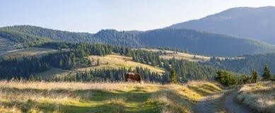 Sommarlandskap i Carpathiansna med kon som betar på ny gr Royaltyfri Bild