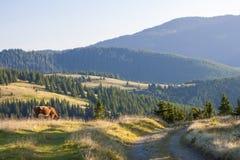 Sommarlandskap i Carpathiansna med kon som betar på ny gr Royaltyfri Foto