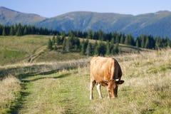 Sommarlandskap i Carpathiansna med kon som betar på ny gr Royaltyfri Fotografi