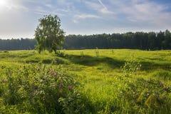 Sommarlandskap med björken i fält Royaltyfria Bilder