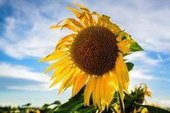 Sommarlandskap med den nära fokusen på den enkla solrosen arkivbilder