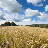 Sommarlandskap med det gula fältet av råg Arkivbild