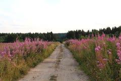 Sommarlandskap med ett fält av att blomma sallyblommor royaltyfri fotografi