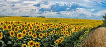 Sommarlandskap med ett fält av solrosor Arkivbilder