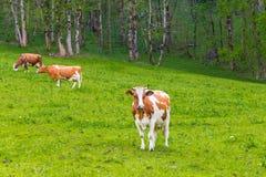 Sommarlandskap med kor som betar på ny grön bergpastu Royaltyfria Bilder