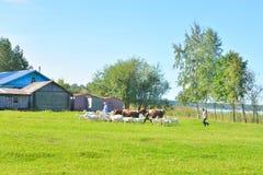 Sommarlandskap med lantbrukarhemmet och en flock av lantgårddjur Arkivfoton