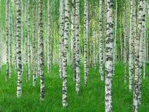 Sommarlandskap med raka björkträd Arkivfoton