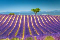 Sommarlandskap med violetta lavendelbuskar i Provence, Valensole, Frankrike arkivfoton