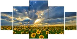 Sommarlandskap: skönhetsolnedgång över solrosor Arkivfoton
