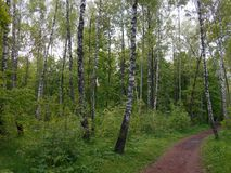 Sommarlandskapbirchwood Arkivfoto
