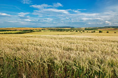 Sommarliggande med vetefältet Arkivbild