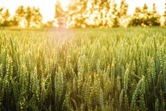 Sommarljus i wheatfield Arkivfoto