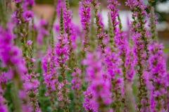 Sommarlynne: Ljusa magentafärgade blommor på en bakgrund av grön lövverk Royaltyfri Foto