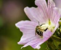 Sommarmakro av ett bi som pollinerar en blomma arkivbilder