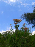Sommarnatur, blommor och blå himmel Arkivbilder