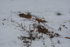 Sommarogräs som petar till och med vintersnö Royaltyfri Foto