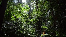 Sommarregn i skogen, lönnträd lager videofilmer