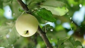 Sommarregn i trädgården med äpplen för illustrationtree för äpple härlig vektor Slowmotion lager videofilmer
