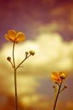Sommarsmörblomman blommar Julian Bound Arkivfoton