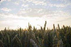 Sommarsolnedgång, grova spikar för vetefält Arkivbild
