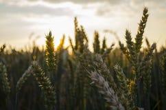Sommarsolnedgång, grova spikar för vetefält Arkivfoton