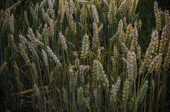 Sommarsolnedgång, grova spikar för vetefält Royaltyfri Fotografi
