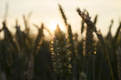 Sommarsolnedgång, grova spikar för vetefält Royaltyfri Bild