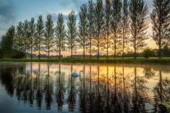 Sommarsolnedgången som en svan paddlar Arkivfoton
