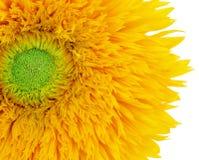 sommarsolros fotografering för bildbyråer