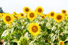Sommarsolrosfält Fält av solrosor med blå himmel En sol royaltyfri foto