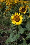 Sommarsolrosfält med blommor Arkivfoto