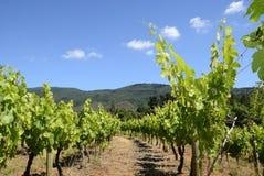 sommarsun under vingårdar Arkivfoto