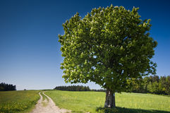 sommartree Arkivbilder