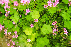 Sommarväxt av släktet Trifolium Royaltyfria Bilder