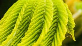 Sommarvårfilial med nya gröna sidor En nyckelpiganärbild på en filial av nya gröna sidor Makro härligt Arkivfoton