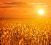 Sommarvetefält på den dramatiska solnedgången Royaltyfri Bild