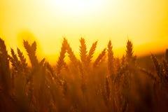 Sommarvetefält på solnedgången royaltyfria bilder