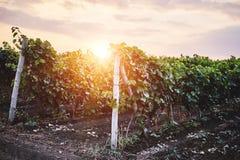 Sommarvingård på solnedgången Fotografering för Bildbyråer