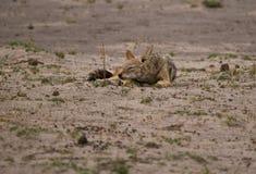 Sommeil à dos noir de chacal (mesomelas de Canis) Images libres de droits